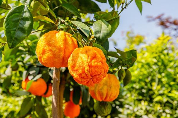 Bitter orange fruit growing in a tree.