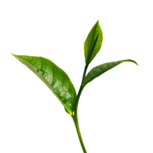 greentea_extract_dosage_supplement_safety_issues_supplement411